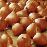 Лук шалот Голден Гурме (Golden Gourmet) -1 кг, фото 2
