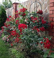 Саженцы плетистых роз Пол Скарлет Клаймер