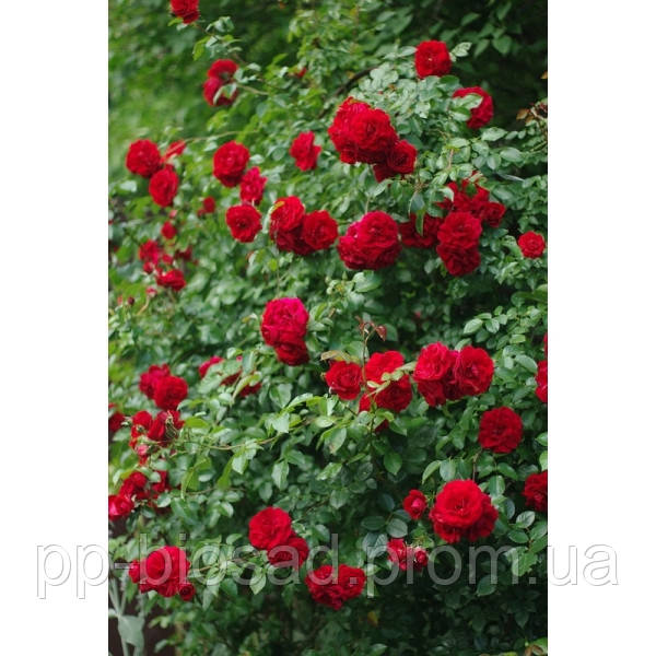 Саженцы плетистых роз Амадеус