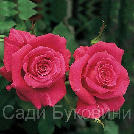 Саженцы роз Пари Матч