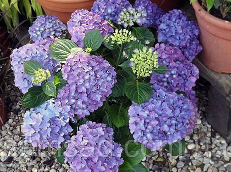 """Гортензия крупнолистная Либертин \ Hydrangea macrophylla   """" Liberteen"""" ( саженцы 2 года), фото 2"""