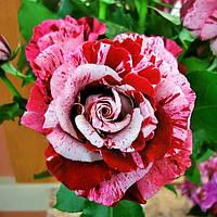 Троянди чайно-гібридна Крейзі Ван