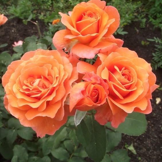 Роза чайно-гибридная Тиа Тайм