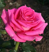 Троянди чайно-гібридна Топаз