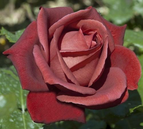 Роза чайно-гибридная Терракотта