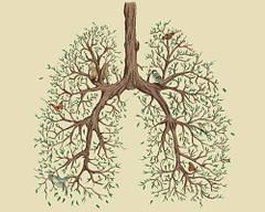 Здоровые лёгкие.