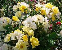 Роза флорибунда Али Дорате