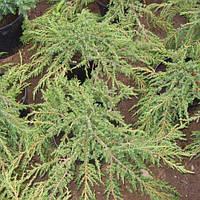 Можжевельник обыкновенный Green Carpet (Грин Карпет), Р9 H 8-10 см