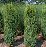 Можжевельник обыкновенный Hibernica (Хиберника), Р9 H 10-15 см