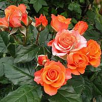 Роза флорибунда Апельсин
