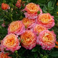 Роза флорибунда Бриоза