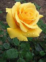 Роза чайно-гибридная Лина