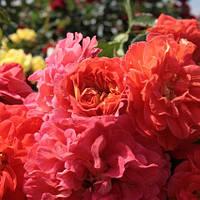 Троянда флорибунда Вестпоинт