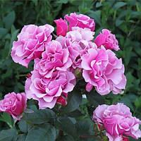 Троянда флорибунда Санта Моніка