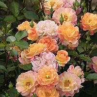 Розы флорибунда Бордюр Камей