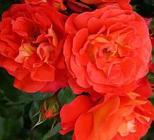 Троянда флорибунда Брати Грімм