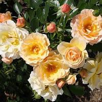 Роза бордюрна Ребекка