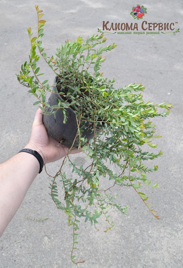 саженцы клюквы, купить саженцы клюквы в Украине, 2 летние растения клюквы