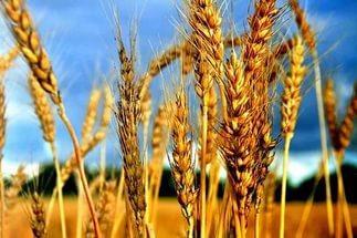 Рассчет нормы высева пшеницы озимой