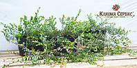 Саженцы брусники 1, 2 летние (с ягодкой). А также клюква 2 летняя в 2 литровом горшке.