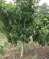 Саженцы грецкого ореха Васион