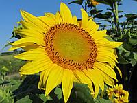 Насіння соняшника НС-Х-2652 (толерантний до Гранстару)
