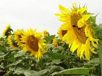 Насіння соняшника НС-Х-1752 (толерантний до Гранстару) екстра, фото 1