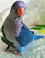 Попугаи калита-монах - выкормыши (голубой окрас)