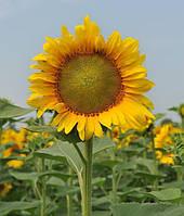 Насіння соняшника НС Таурус (толерантний до Євролайтнінгу) НОВИНКА!