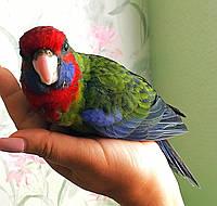 Папуга Розелла - годованці