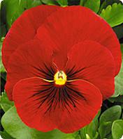 Семена фиалки Династия Scarlet Shades 100 шт Китано