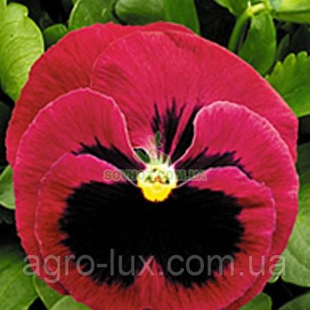 Семена фиалки Династия Rose Blotch 100 шт Китано