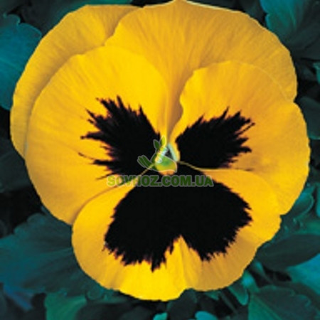 Семена фиалки Династия Yellow Blotch 100 шт Китано