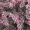 Барабарис Тунберга Rose Glow, контейнер 1 л H 12-15 см