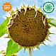 Семена подсолнечника под гранстар ВИНЧЕНЦО (Вінченцо) 108 дн. фр. Стандарт, фото 2