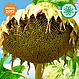 Семена подсолнечника АНЦИЛЛА 106 дн., фото 3