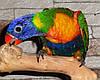 Многоцветный попугай или радужный лорикет