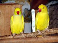Ожереловый попугай (Цветовой мутации), фото 1