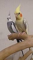 Попугаи Корелла или Нимфа