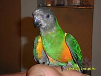 Сенегальский попугаи, фото 1