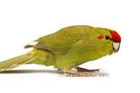 Попугай Какарик или Бегающие попугайчики. (•Коричные - рецессивная мутация), фото 1