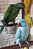 Ожереловый попугай — очень грациозная и изящная птица средних размеров.