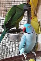 Ожереловый попугай — очень грациозная и изящная птица средних размеров., фото 1