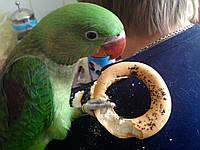 Александрийский попугай (psittacula eupatria). Малыши ручного докормления.