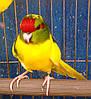 Попугаи (Какарики) - доминантный пестрый.