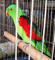 Краснокрылый попугай Aprosmictus erythropterus, фото 1