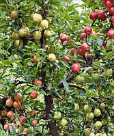 Яблоня дерево сад (Глостер + Мутсу + Джонагоред)