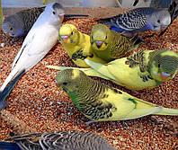 Волнистый попугай. (Малыши), фото 1
