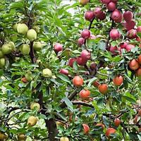 Яблуня дерево сад (Глостер + Чемпіон + Голден делішес Клон Б)