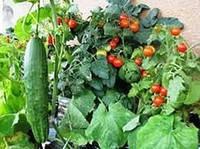 Мінеральне живлення рослин огірка і томата при краплинному зрошенні